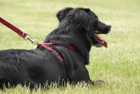 A partir du 1er avril les chiens doivent être tenus en laisse
